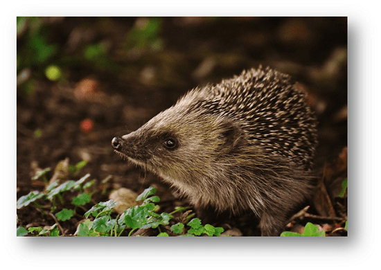Image of a hedgehog in the forest.